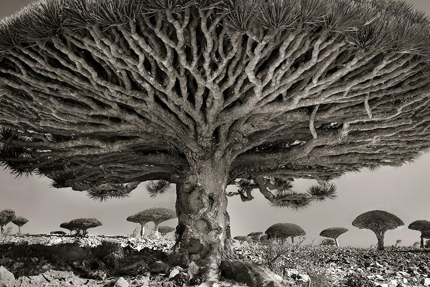 Kadim Ağaçlar: Zamanın Portreleri