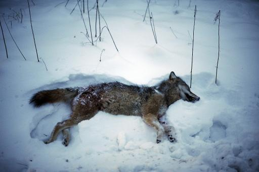 2011 yılında İsveç hükümetinin nüfus düşürme politikalarıya tekrardan başlattığı av mevsiminde öldürülen kuırtlardan biri.