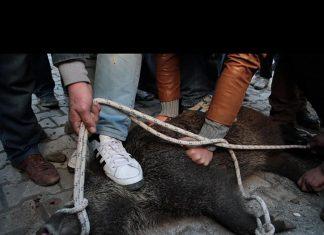 Samsun'un Canik ilçesinde, avcılardan kaçtığı düşünülen yaban domuzu ilçe merkezine kaçtı. İlçe merkezine kaçan yaban domuzu, vatandaşlar tarafından canice linç edilmeye çalışıldı.