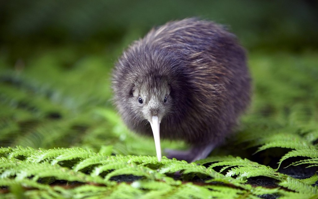 Kiwi-Bird-Wallpaper-1024x640