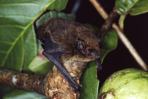 Pipistrellus Murrayi