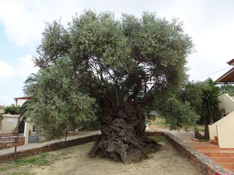 Girit Adası'nda bulunan dünyanın en yaşlı zeytin ağacı. Ağacın yaşı tam olarak hesaplanamıyor; fakat yaşının 2000 ila 4000 arasında olduğu düşünülüyor.