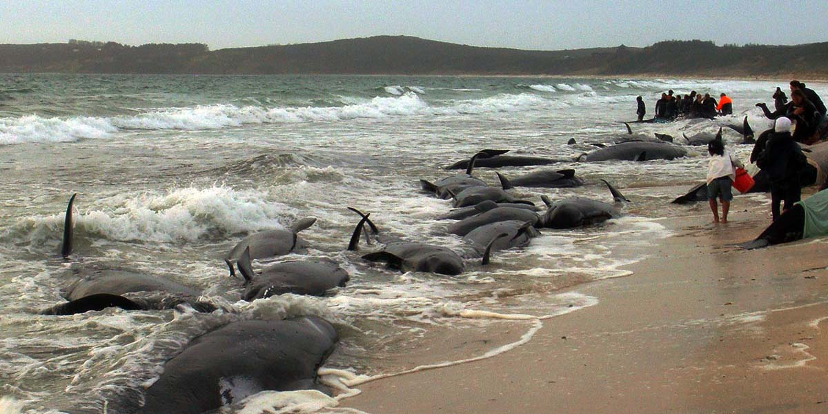 200 civarı kara balina kıyıya vurdu