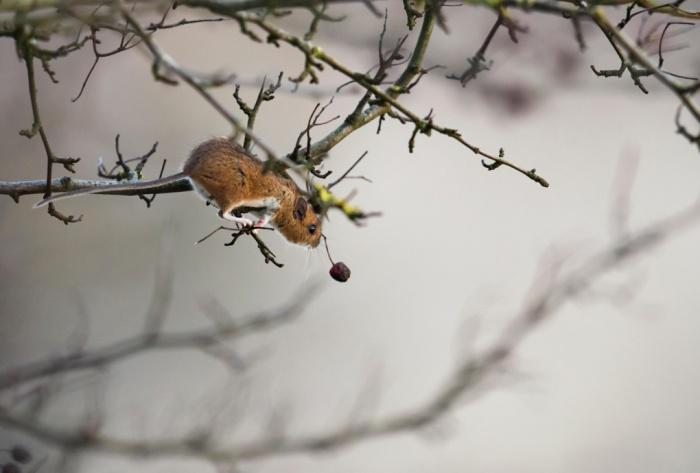 Bir ağaç sıçanı kiraza uzanıyor. (Fotoğraf: Jerome Murray/Alamy)