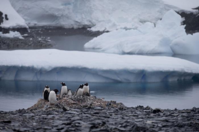 Gentoo penguenleri kayaların üzerinde. NASA'ya göre Antarktika'daki yıllık buz kaybı 49 milyar ton. (Fotoğraf: Natacha Pisarenko/AP)