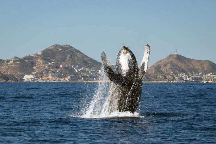 Bir kambur balina suyu yarıp çıkıyor. (fotoğraf:Frankie Grant/Barcroft Media)