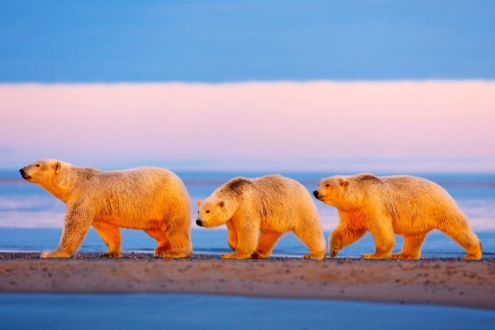 5.Bir anne kutup ayısı ve onun yavruları günbatımı yürüyüşünde. Uluslar arası Kutup Ayısı Günü, üresel ısınma sebebiyle yaşam alanlarını kaybeden bu canlara dair farkındalık oluşturuyor. (Fotoğraf: Jon Cornforth/Barcroft Media)