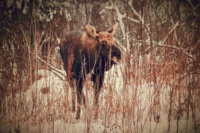 5.Yeni çıkan boynuzlarıyla bir Amerikan sığırı (Fotoğraf: Philip Childs/GuardianWitness)