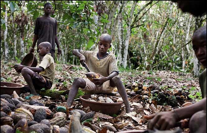 Fildişi Sahilleri Cumhuriyeti'nde kakao üretiminde çalışan bir çocuk.