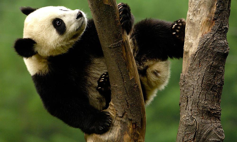 Panda nüfusu yüzde 17 civarında artış gösteriyor