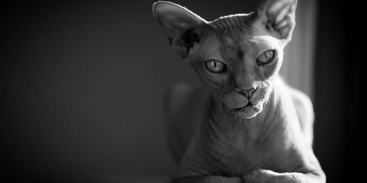 Sfenks kedilerinin korkutucu güzelliği