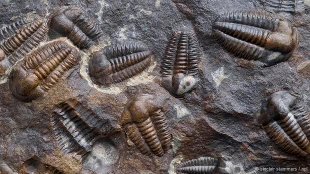 Bunun gibi trilobitler Kambriyen dönemde evrildi. (© Sinclair Stammers)