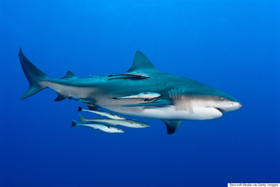 Shark Photographer Fiona Ayerest