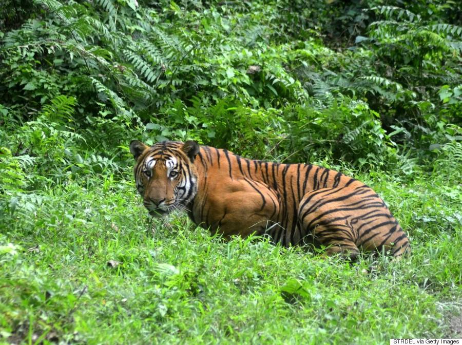 INDIA-ENVIRONMENT-ANIMAL-TIGER