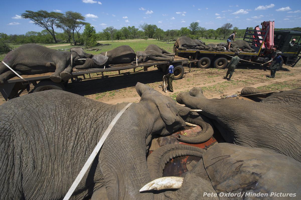 filler, fildişi, tehlike altında