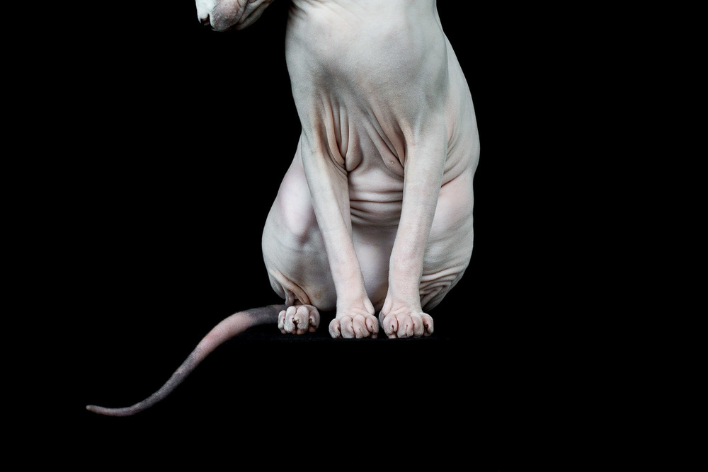 sphynx-cat-photos-by-alicia-rius-17