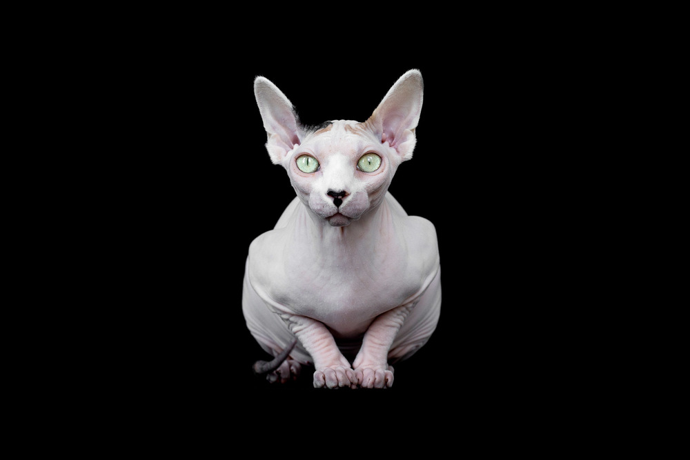 sphynx-cat-photos-by-alicia-rius-19