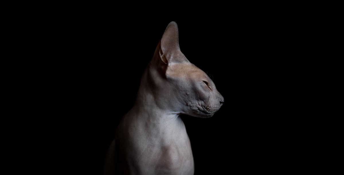 sphynx-cat-photos-by-alicia-rius-21