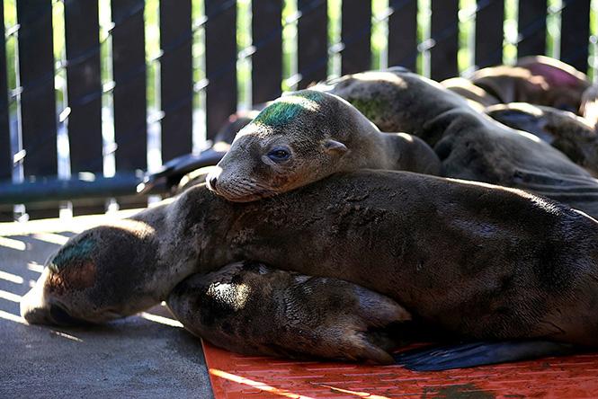 Deniz Aslanları Bitkin