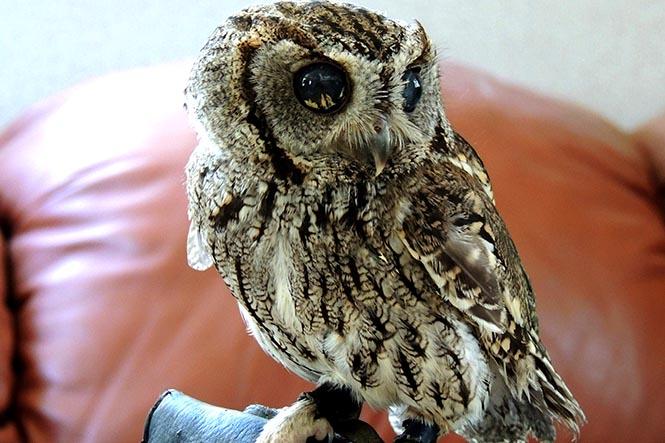 Zeus the blind owl