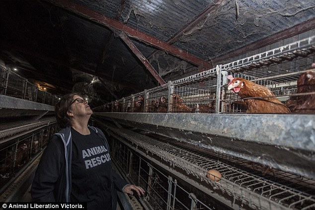 Webs_and_dirt_hang_from_the_ceiling_and_cages_where_the_hens_as_-a-43_1427956111775