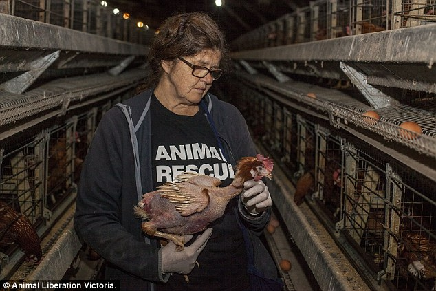 An_Animal_Liberation_Victoria_activist_lifts_up_one_of_the_hens_-a-50_1427956113782