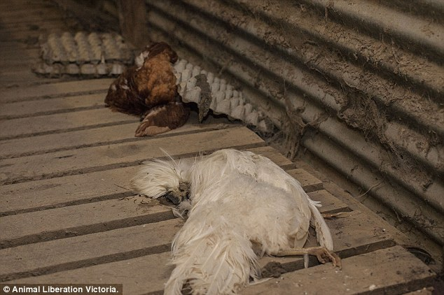 Ölü tavuklar diğer canlı tavukların kafesleri altında öylece duruyor.
