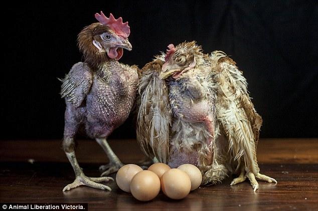 Zavallı tavuklara karşı yumurtalar çiftlikte hâlâ üretiliyordu.