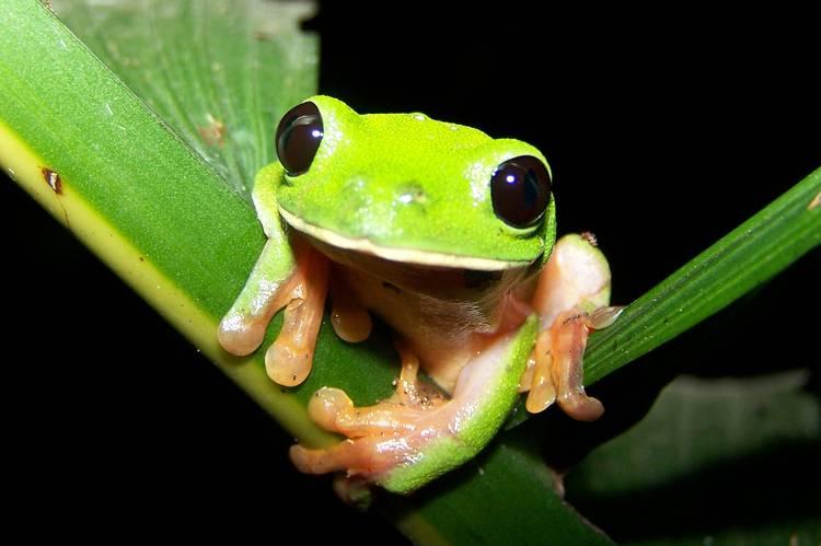 Agalychnis_moreletii-black-eyed-treefrog.jpg.0x545_q70_crop-scale