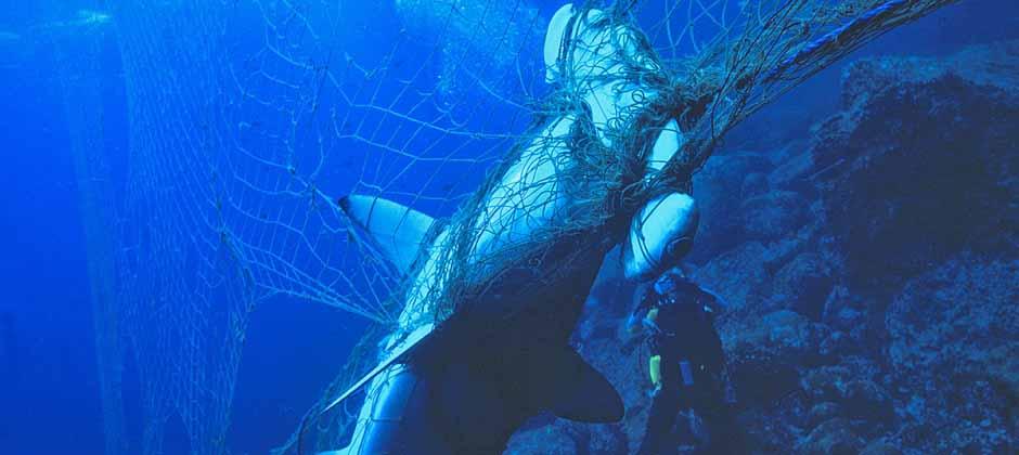 Hayalet avcılık yüzünden ağa takılan deniz canlısı