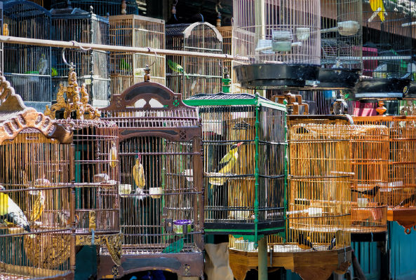 Kafeslenmiş Kuşlar