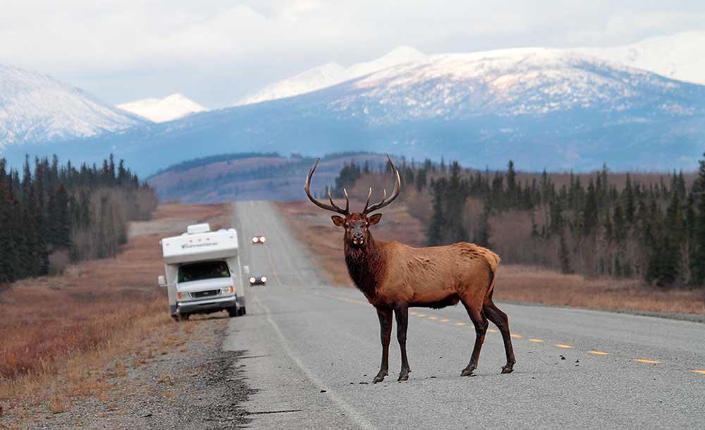 Takhini Elk
