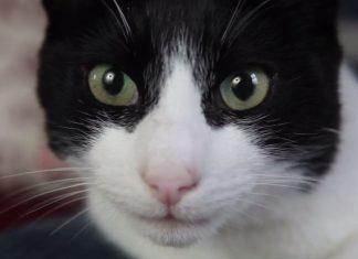 """Merlin'le tanışın. Kendisi geçtiğimiz günlerde Guinness Dünya Rekorlarına girerek """"En yüksek sesle mırlayan ev kedisi"""" ünvanını aldı."""