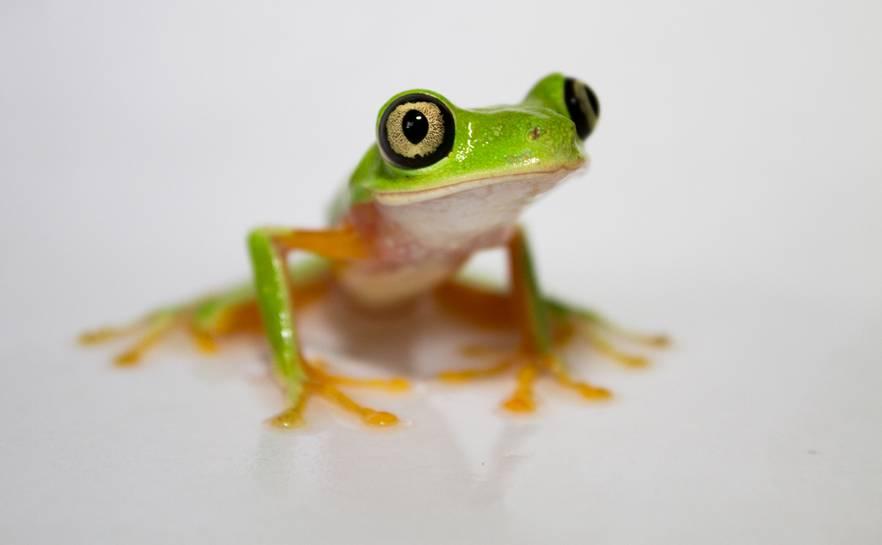 lemur-leaf-frog.jpg