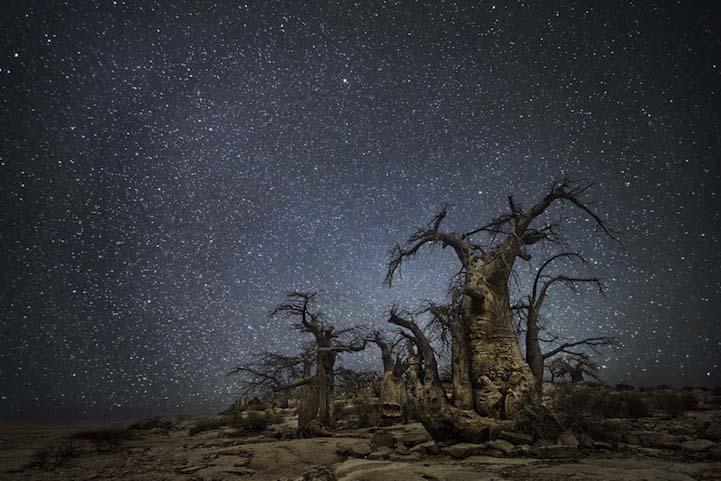 Ara Dünyanın en kadim Dünyanın en kadim ağaçlarının gecenin koynuna yükselişi Ara