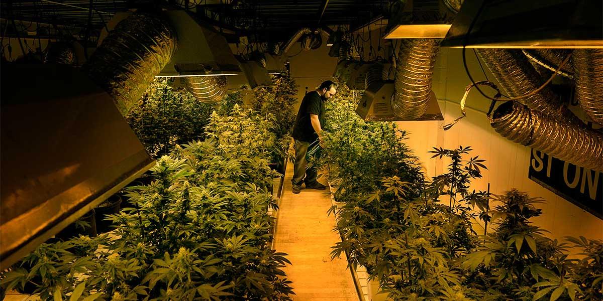 Cannabis Tarlası