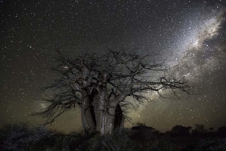 Cetus Dünyanın en kadim Dünyanın en kadim ağaçlarının gecenin koynuna yükselişi Cetus