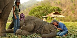 Ninnilerle mışıldayan dünya güzeli fil Faa Mai