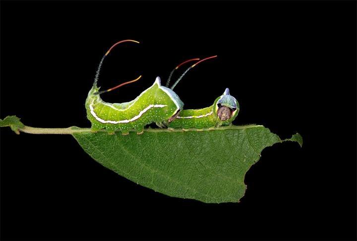 Samuel-Jaffe-New-England-Caterpillars-5