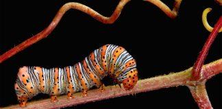 Tabiatın dev harikalarını küçük vücutlarına sığdıranlar: Tırtıllar
