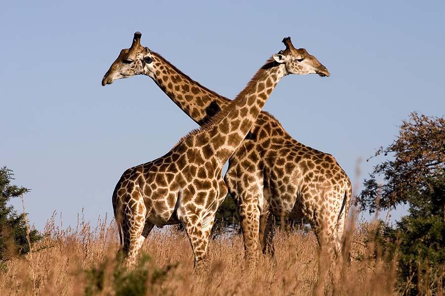 Zürafa Afrika