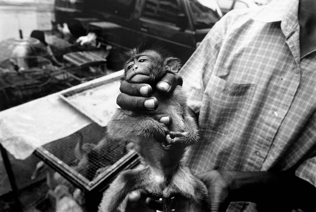 A long-tailed macaque monkey is having its tail treated by a tradesman at the market. The animal, which is currently on sale for $10 US, was injured in transit after poachers tied a rope to its tail.