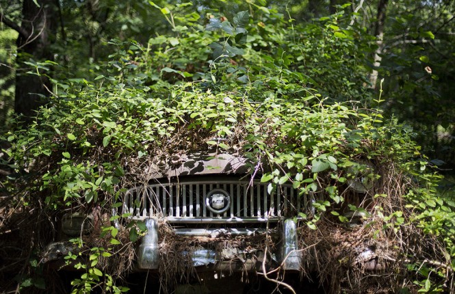 Trees grow over a car at Old Car City, the world's largest known classic car junkyard Thursday, July 16, 2015, in White, Ga. Over 4,000 classic cars decorate 32 acres of forest which have been turned into a junkyard museum by owner Walter Dean Lewis. (AP Photo/David Goldman)