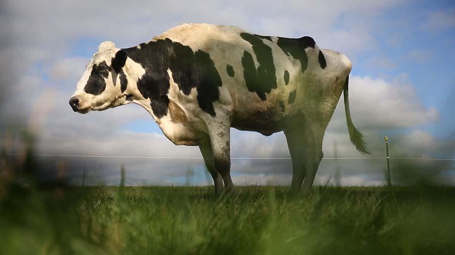 Dünyanın en büyük ineği öldü 1