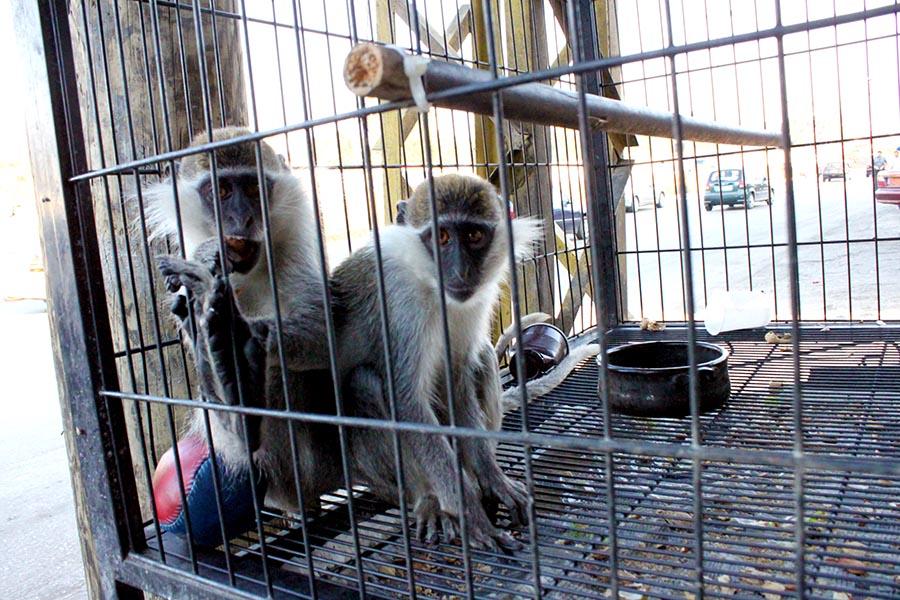 Maymun Ticareti