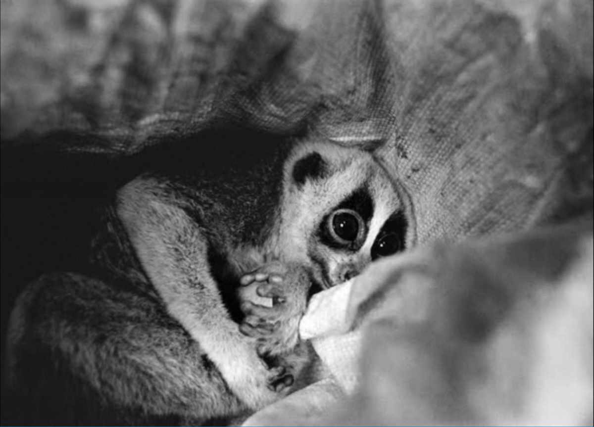 Patrick-Brown-_-Panos-Pictures.-slow loris