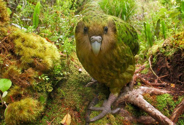 Uçamayan papağan kakapo 1