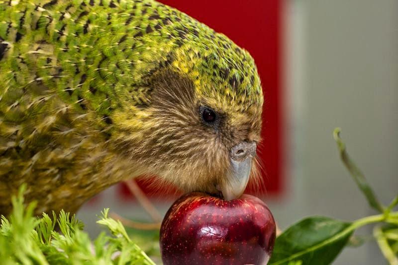 Uçamayan papağan kakapo 2