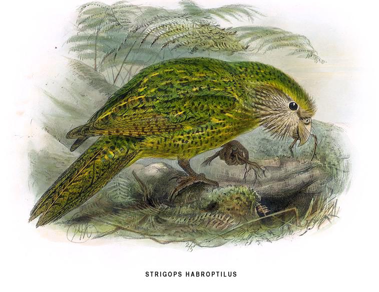 Uçamayan papağan kakapo 3
