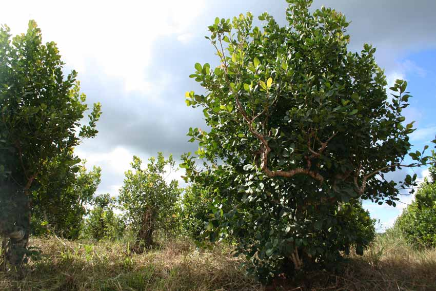yarbe mate tree